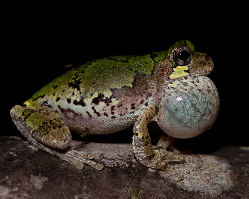 Bird-voice Tree Frog